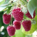 Semaine de l'arbre : distribution de petits fruitiers